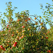 Ripe red apples on apple tree branch — Stock Photo