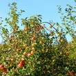 Stock Photo: Ripe red apples on apple tree branch