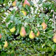 Fruit on the branches of pear tree — Stock Photo