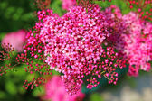 Gentle pink flowers spirea — Stock Photo