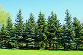 Group of young firs — Stock Photo