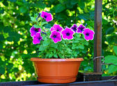 Petunia flowers purple with white border — Stock Photo