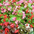 Flowers red and pink begonias — Stock Photo #38591587