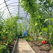 Growing tomatoes in the greenhouse made of polycarbonate — Stock Photo #38591603