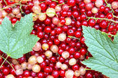 Background of the many berries red and white currants — Foto Stock