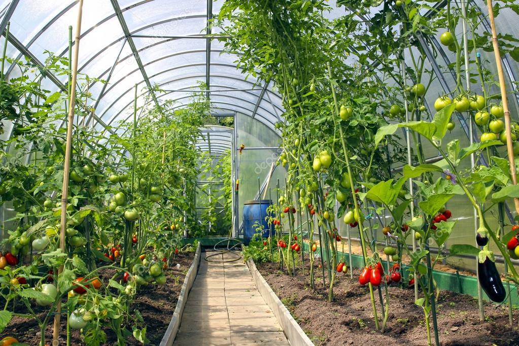 anbau von tomaten im gew chshaus hergestellt aus. Black Bedroom Furniture Sets. Home Design Ideas