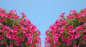 Pink petunia flowers — Stock Photo