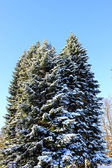 Big spruce in winter — Stock Photo