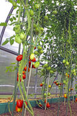 Red and green tomatoes in a greenhouse — Foto de Stock