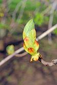 Horse chestnut flower buds on a branch — Photo