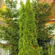 Arborvitae and spruce trees — Stock Photo #39976191