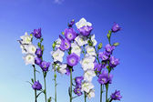 Several violet and white bell flowers — ストック写真