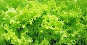 Oluklu yaprakları taze sebze salatası — Stok fotoğraf