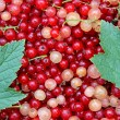 Stock Photo: Background of many berries red and white currants with green
