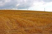 Orejas de centeno maduro en un campo de cosecha — Foto de Stock