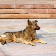 Stock Photo: Watchful brown dog lying on stone slabs