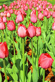 Lots of red tulips — Stock Photo