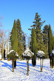 Arborvitae and cypress trees in winter — Stock Photo