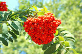 Rowan branches with bright berries — Stock Photo