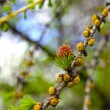 Branch of larch with the young needles and small cones in the sp — Stock Photo #41054879
