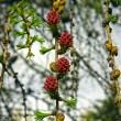 Branch of larch with the young needles and small cones in the sp — Stock Photo #41230103