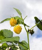 Ripe yellow raspberry on a branch — Stock Photo