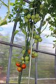 温室でブッシュに熟成赤と緑のトマト — ストック写真