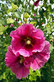 Big red flower of mallow — Stock Photo
