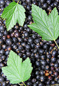 Background of the many berries black currant — Stockfoto