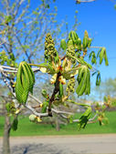 Horse chestnut flower buds on a branch — Stock Photo