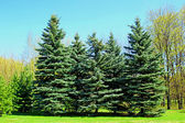 Several spruce trees in early spring  — Stock Photo