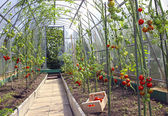 Red and green tomatoes in a greenhouse — Stock Photo