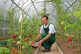 Worker harvests tomatoes in the greenhouse — Stock Photo