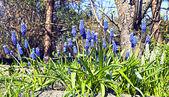 Mavi muscari çiçekler — Stok fotoğraf