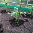 Young tomato plants in the garden bed — Stock Photo #47884055