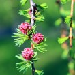 Branch of larch with the young needles and small cones — Stock Photo #48324263