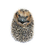 Forest hedgehog lying — Stock Photo