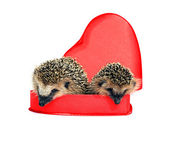 Two small forest hedgehogs in a red gift box in heart shape — Stock Photo