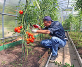 Worker processing the tomatoes bushes in the greenhouse of polyc — Stock Photo