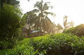 Tea plantations in Sri Lanka — Foto Stock
