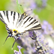 Butterfly Papilio Machaon on lavender flower — Stock Photo