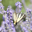 Butterfly Papilio Machaon sitting on lavender flower — Stock Photo