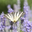 Butterfly Papilio Machaon on lavender — Stock Photo