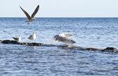 Seagull flock on the rocks — Stock Photo