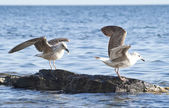 Two seagulls on the sea rocks — Стоковое фото