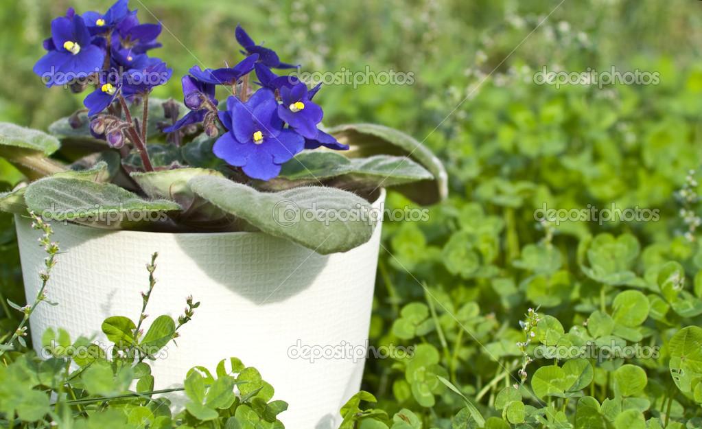 Виола в саду