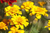 Red and yellow marigold flowers — Stock Photo