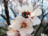 A flowering apricot — Stock Photo