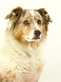 Australian Shepherd on white — Stock Photo