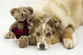 Australian Shepherd with Valentine's Day Teddy Bear — Stock Photo